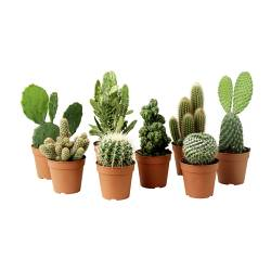 CACTACEAE potted plant, assorted Cactus, assorted Diameter of plant pot: 12 cm Min. height: 15 cm Max. height: 30 cm