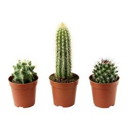 CACTACEAE potted plant, Cactus Diameter of plant pot: 6 cm Package quantity: 3 pack