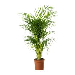 "CHRYSALIDOCARPUS LUTESCENS potted plant, Areca palm Diameter of plant pot: 9 ½ "" Height of plant: 47 ¼ "" Diameter of plant pot: 24 cm Height of plant: 120 cm"