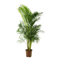 CHRYSALIDOCARPUS LUTESCENS potted plant, Areca palm Diameter of plant pot: 27 cm Height of plant: 170 cm