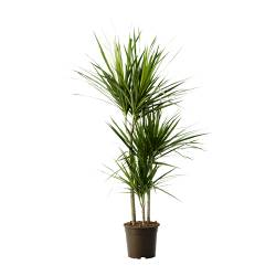 DRACAENA MARGINATA potted plant, 3-stem, Dragon tree Diameter of plant pot: 21 cm Height of plant: 120 cm