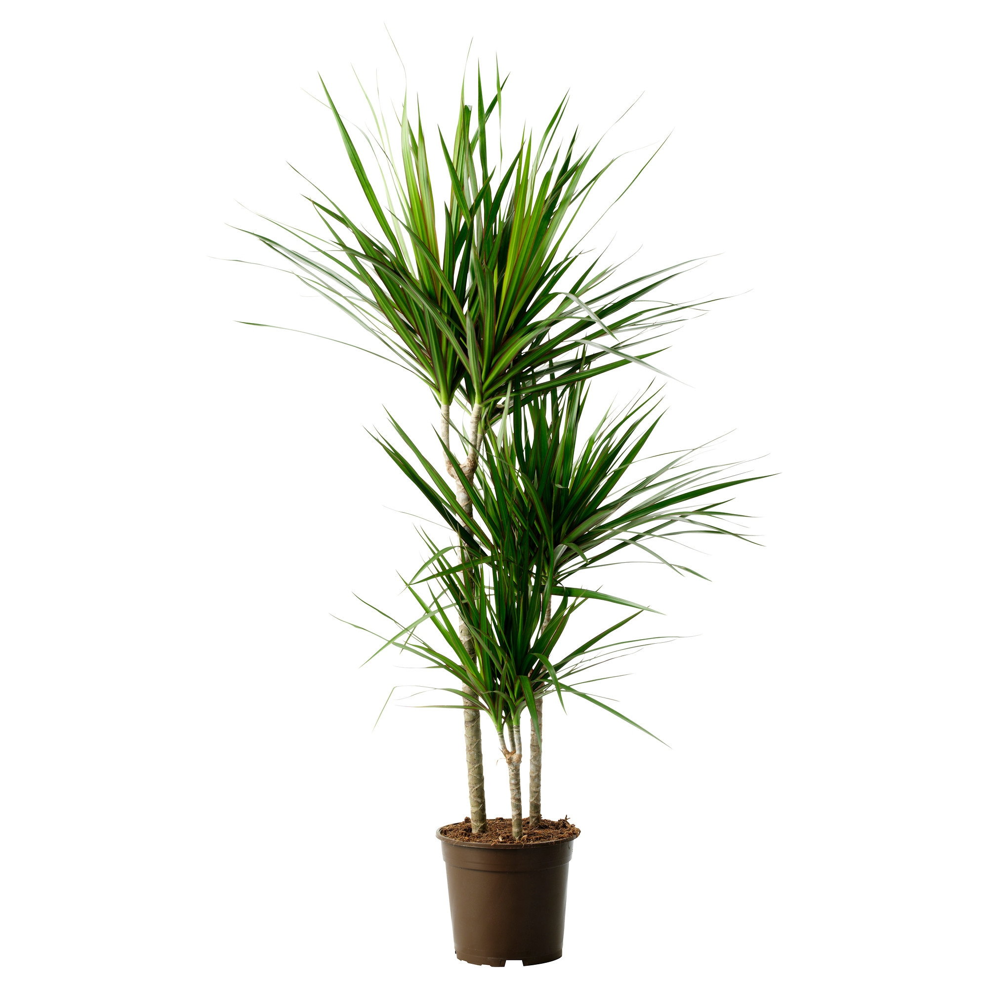 dracaena marginata potted plant dragon tree 3 stem diameter of plant pot - Tall Potted Plants