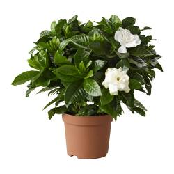 "GARDENIA JASMINOIDES potted plant, Scented gardenia Diameter of plant pot: 5 "" Height of plant: 9 ¾ "" Diameter of plant pot: 13 cm Height of plant: 25 cm"
