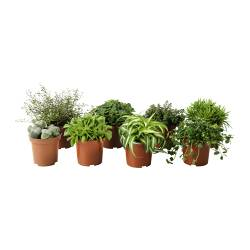 "HIMALAYAMIX potted plant, assorted species plants Diameter of plant pot: 4 "" Height of plant: 6 "" Diameter of plant pot: 10 cm Height of plant: 15 cm"