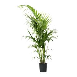 HOWEA FORSTERIANA potted plant, Kentia palm Diameter of plant pot: 24 cm Height of plant: 190 cm