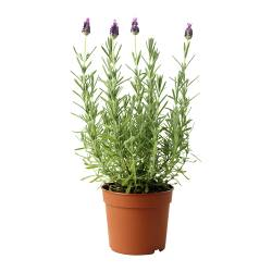 LAVANDULA potted plant, Lavender Diameter of plant pot: 12 cm Height of plant: 30 cm