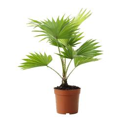 LIVISTONA ROTUNDIFOLIA potted plant, Footstool palm Diameter of plant pot: 12 cm Height of plant: 35 cm