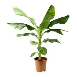 MUSA BANANA potted plant Diameter of plant pot: 21 cm Height of plant: 95 cm