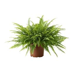 NEPHROLEPIS potted plant, Boston fern Diameter of plant pot: 17 cm Height of plant: 45 cm