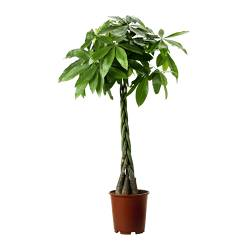 PACHIRA AQUATICA potted plant, Guinea chestnut Diameter of plant pot: 27 cm Height of plant: 150 cm