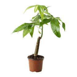 PACHIRA AQUATICA potted plant, Guinea chestnut Diameter of plant pot: 10.5 cm Height of plant: 35 cm