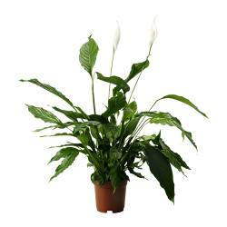 "SPATHIPHYLLUM potted plant, Peace lily Diameter of plant pot: 9 ½ "" Height of plant: 43 "" Diameter of plant pot: 24 cm Height of plant: 110 cm"