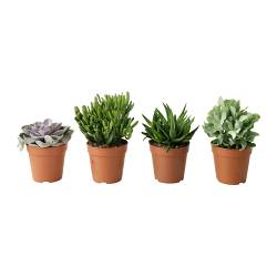 SUCCULENT potted plant, assorted Diameter of plant pot: 12 cm Height of plant: 20 cm