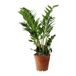 ZAMIOCULCAS potted plant, Aroid palm Diameter of plant pot: 17 cm Height of plant: 75 cm