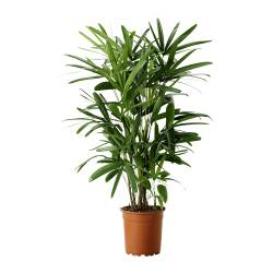 RHAPIS EXCELSA potted plant