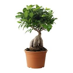FICUS MICROCARPA GINSENG potted plant Diameter of plant pot: 17 cm Height of plant: 45 cm