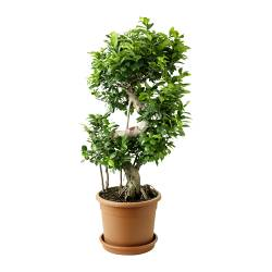 FICUS MICROCARPA GINSENG potted plant Diameter of plant pot: 28 cm Height of plant: 90 cm