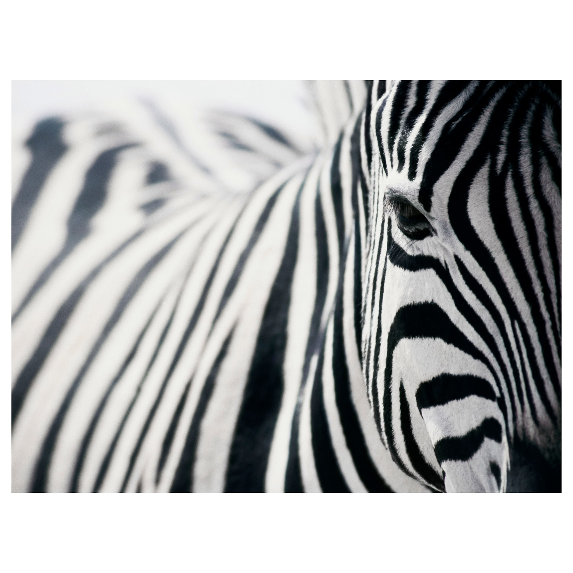 1000 images about zebra on pinterest. Black Bedroom Furniture Sets. Home Design Ideas