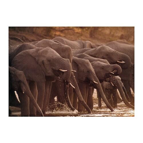 BJÖRKSTA Picture, African elephants