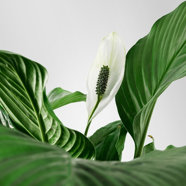 SPATHIPHYLLUM Potted plant, Peace lily, 24 cm
