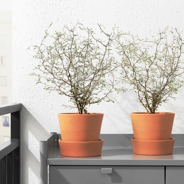 COROKIA Pflanze, 13 cm