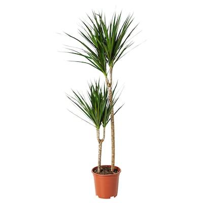 DRACAENA MARGINATA Pflanze, Drachenbaum/2 Stämme, 19 cm
