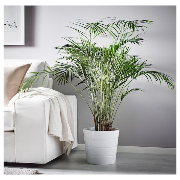 DYPSIS LUTESCENS Pflanze, Goldfruchtpalme, 24 cm
