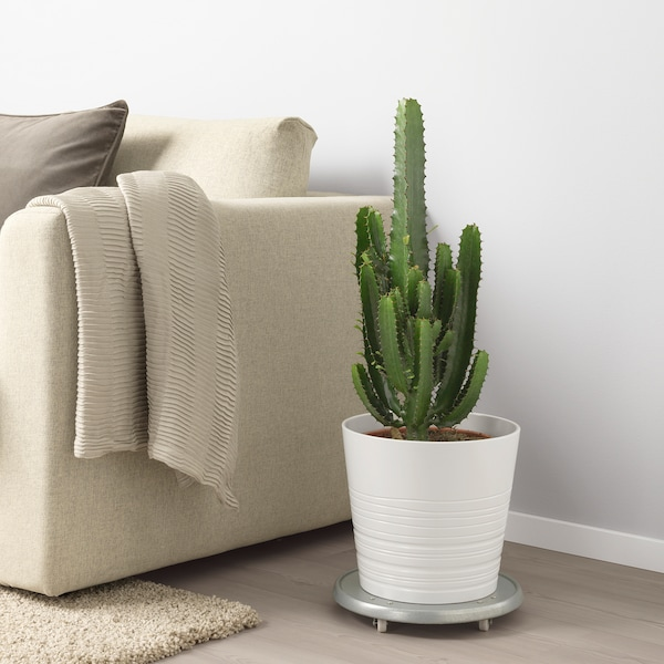 EUPHORBIA ACRURENSIS Pflanze, 24 cm