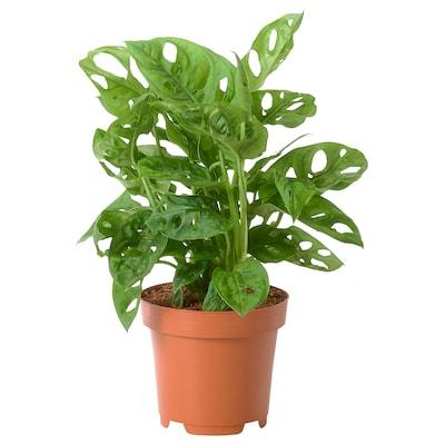 MONSTERA ADANSONII Pflanze, Fensterblatt, 12 cm