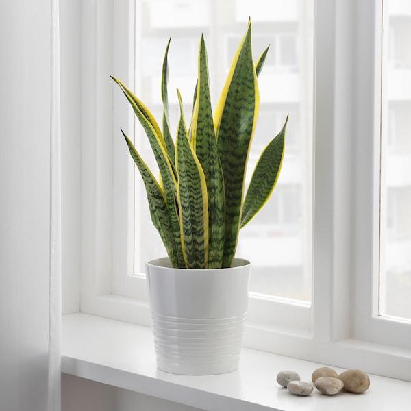 SANSEVIERIA TRIFASCIATA Pflanze Bogenhanf 14 cm 40 cm