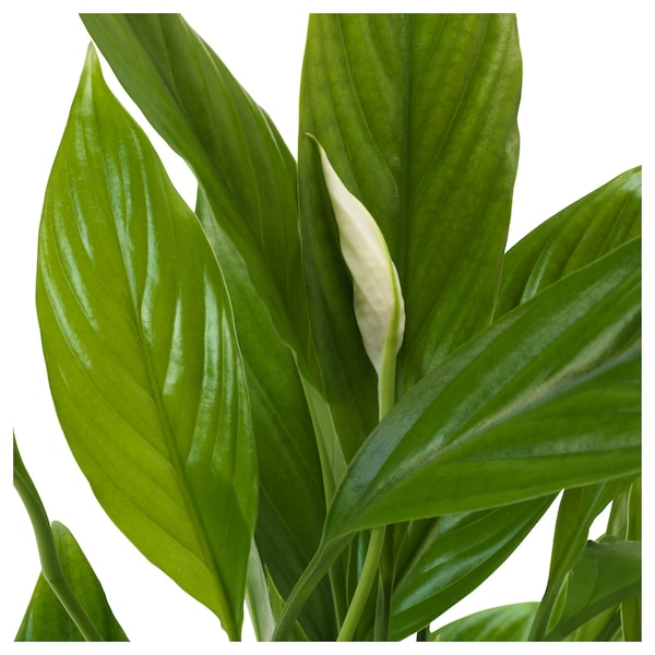 SPATHIPHYLLUM Pflanze Einblatt 17 cm 70 cm