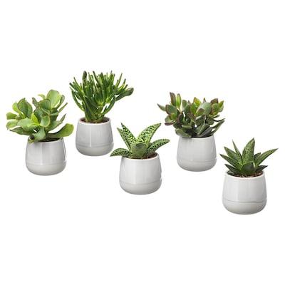 SUCCULENT Pflanze mit Übertopf, grau, 6 cm