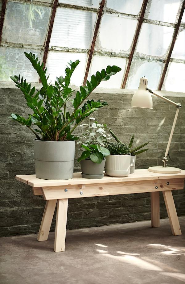 ZAMIOCULCAS Pflanze, Zamioculcas, 21 cm