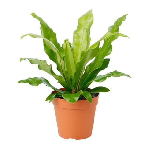 Asplenium Potted Plant Ikea