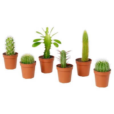 CACTACEAE Potted plant, assorted, 6 cm