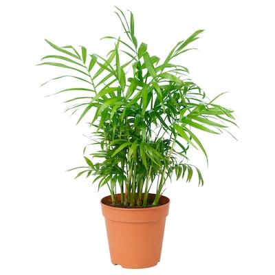 CHAMAEDOREA ELEGANS Potted plant, Parlour palm, 12 cm