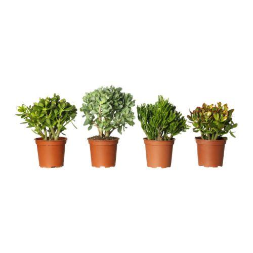 Crassula potted plant ikea for Ikea plantes