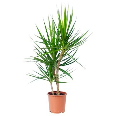 DRACAENA MARGINATA Potted plant, Dragon tree, 19 cm