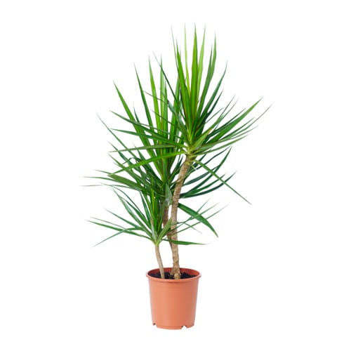 dracaena marginata potted plant ikea. Black Bedroom Furniture Sets. Home Design Ideas