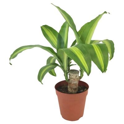 DRACAENA MASSANGEANA Potted plant, Dom plant, 12 cm