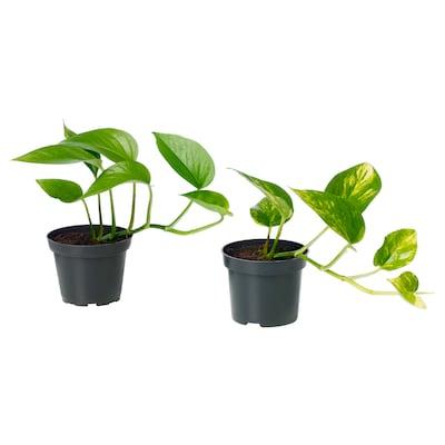EPIPREMNUM Potted plant, Devil's ivy/assorted, 9 cm
