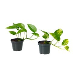 EPIPREMNUM potted plant, Devil's ivy, assorted