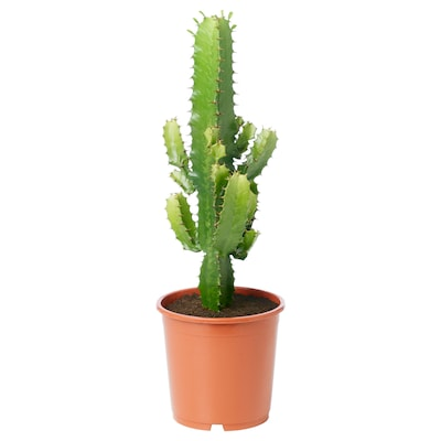 EUPHORBIA Potted plant, assorted, 19 cm