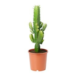 EUPHORBIA potted plant, assorted