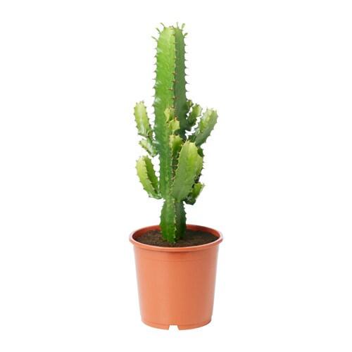 Euphorbia Potted Plant Ikea
