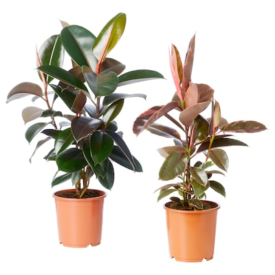 FICUS ELASTICA Potted plant, assorted, 19 cm