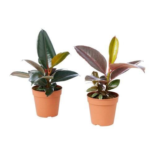 FICUS ELASTICA Potted plant, assorted
