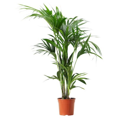 HOWEA FORSTERIANA Potted plant, Kentia palm, 17 cm