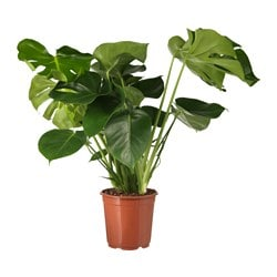 MONSTERA potted plant, Swiss cheese plant