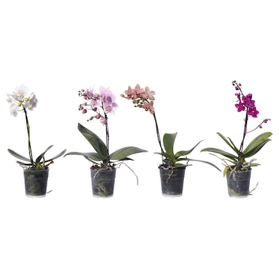 PHALAENOPSIS Potted plant, Orchid assorted colours, 9 cm